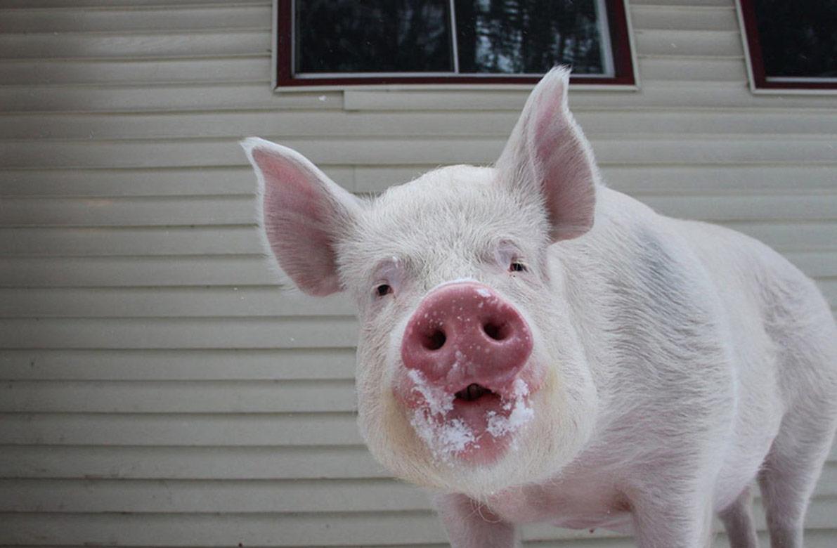 Прикольные картинки свинью, картинка